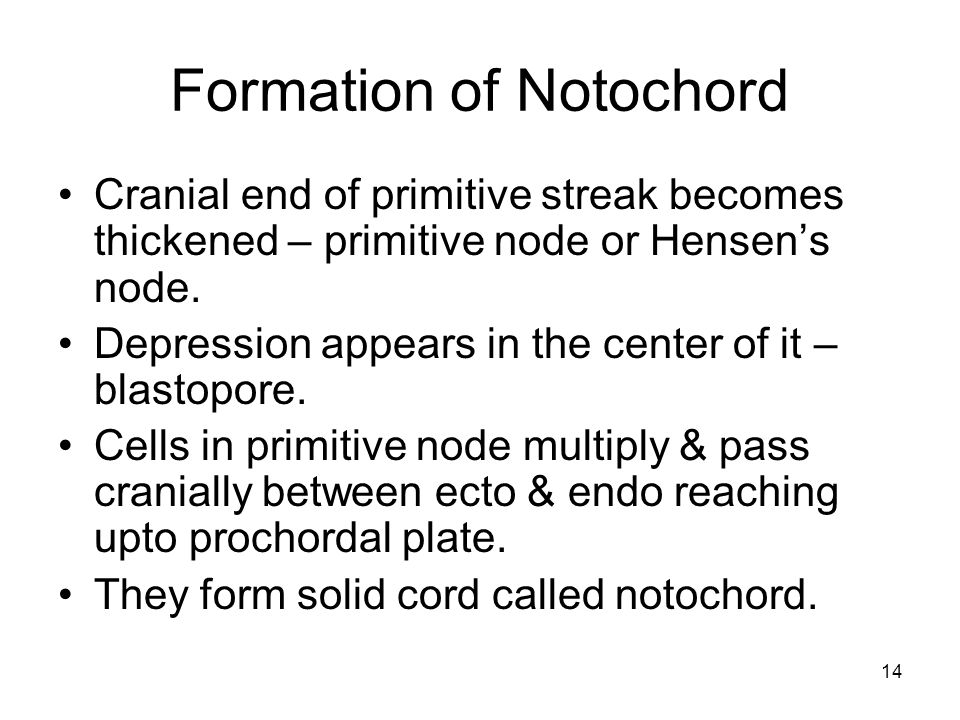 14 Formation of Notochord Cranial end of primitive streak becomes thickened – primitive node or Hensen's node.