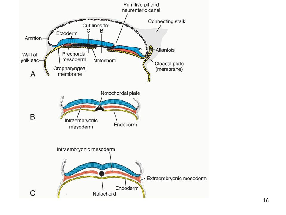 17 As embryo enlarges notochord elongates and is later occupied by vertebral column.