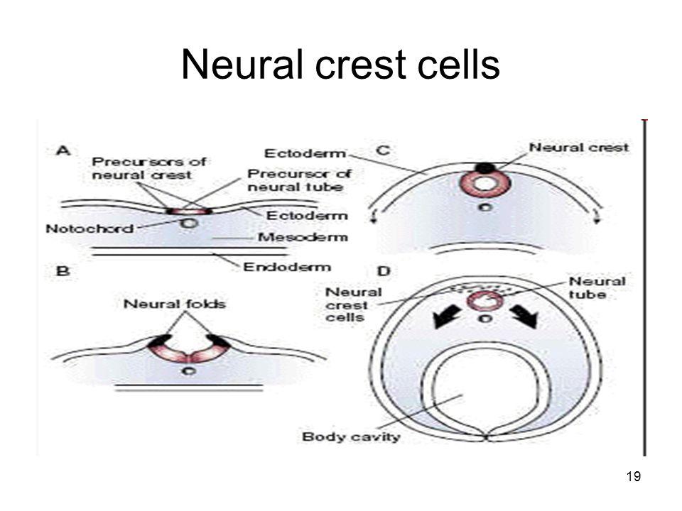 19 Neural crest cells