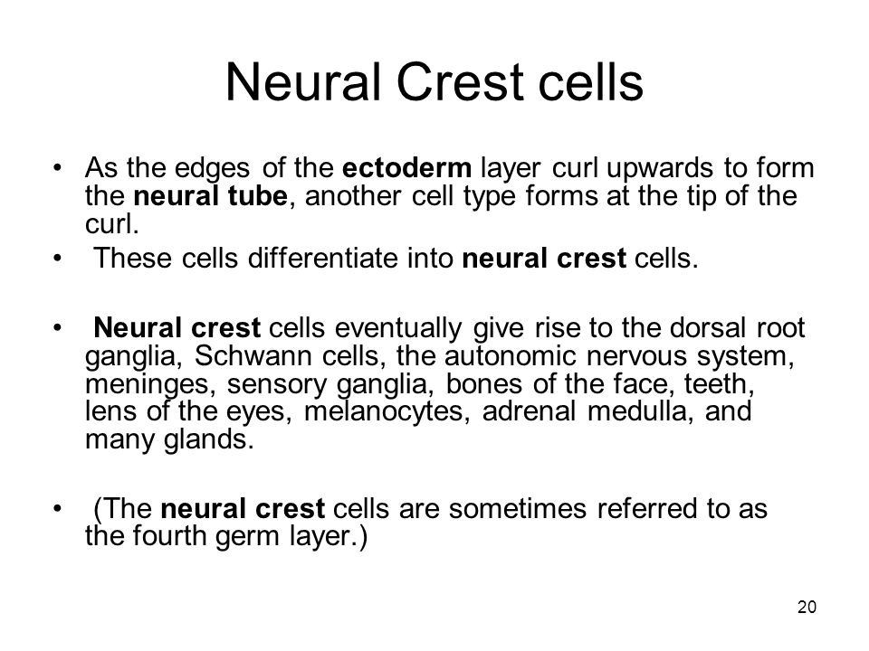 20 Neural Crest cells As the edges of the ectoderm layer curl upwards to form the neural tube, another cell type forms at the tip of the curl.
