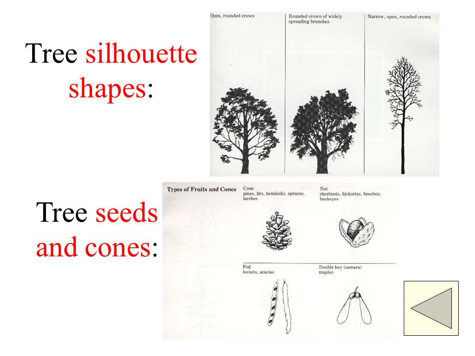 Tree silhouette shapes: Tree seeds and cones: