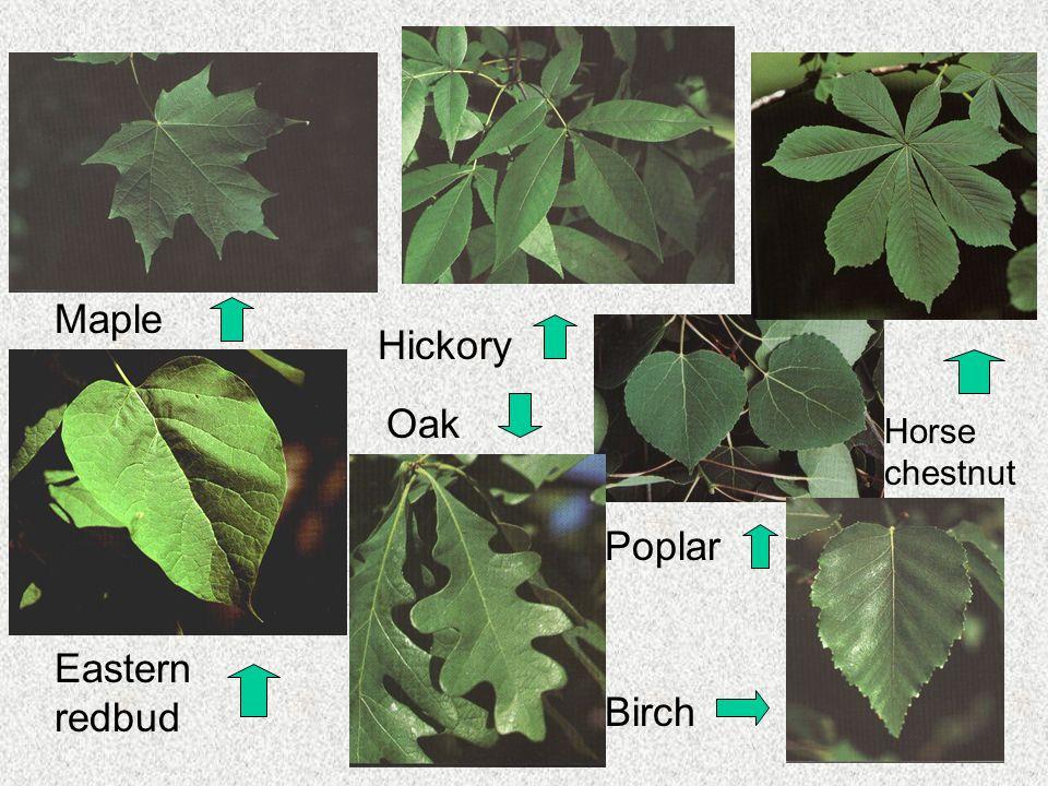 Hickory Maple Horse chestnut Eastern redbud Oak Poplar Birch