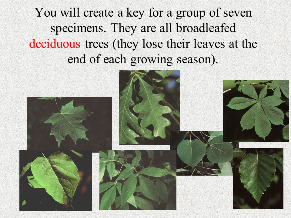 You will create a key for a group of seven specimens. They are all broadleafed deciduous trees (they lose their leaves at the end of each growing seas