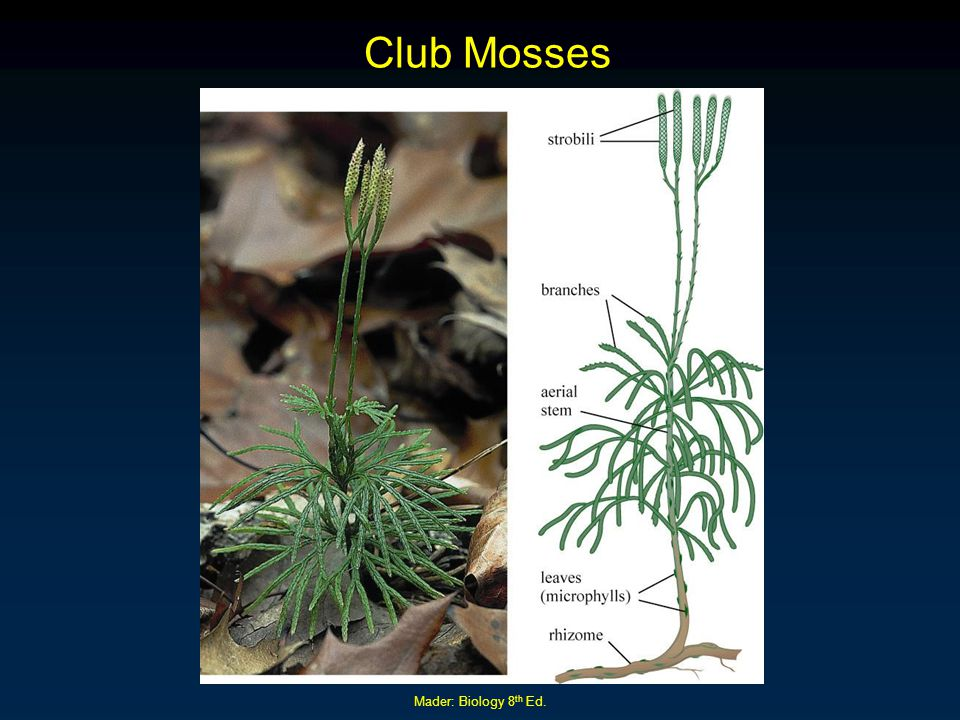 Mader: Biology 8 th Ed. Club Mosses