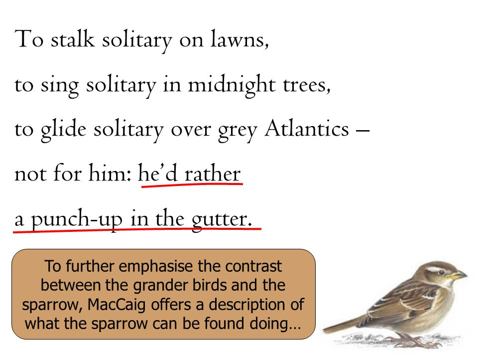 To further emphasise the contrast between the grander birds and the sparrow, MacCaig offers a description of what the sparrow can be found doing…