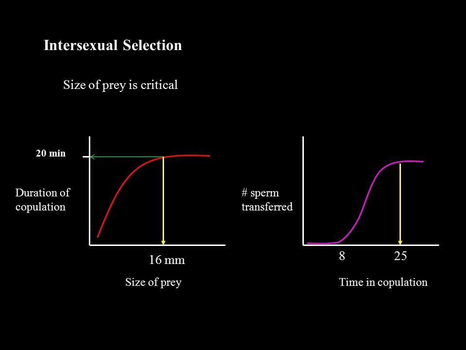 Intersexual Selection Size of prey is critical Size of prey Duration of copulation 20 min 16 mm Time in copulation # sperm transferred 25 8