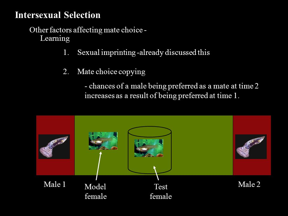 Intersexual Selection Other factors affecting mate choice - Learning 1.Sexual imprinting -already discussed this 2.Mate choice copying - chances of a male being preferred as a mate at time 2 increases as a result of being preferred at time 1.