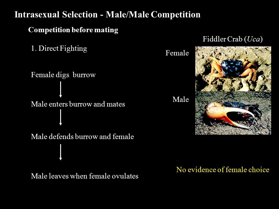 Intrasexual Selection - Male/Male Competition 1.