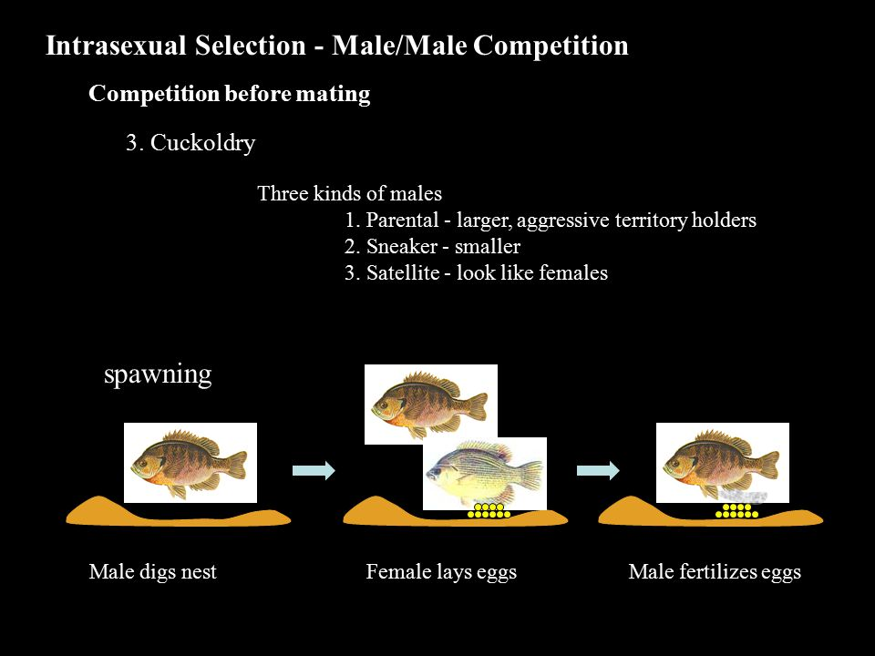 Three kinds of males 1. Parental - larger, aggressive territory holders 2.