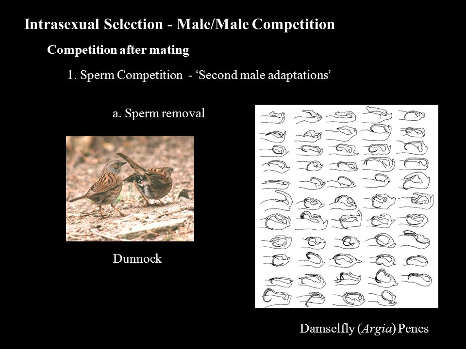 Intrasexual Selection - Male/Male Competition Competition after mating 1.