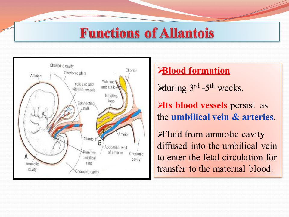  Blood formation  during 3 rd -5 th weeks.