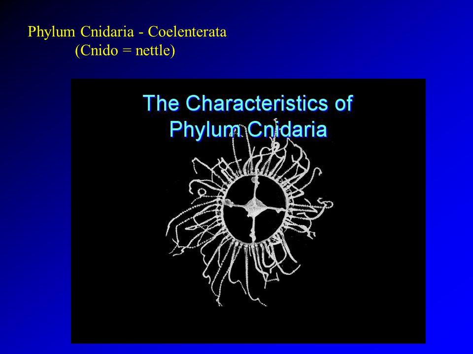 Phylum Cnidaria - Coelenterata (Cnido = nettle)