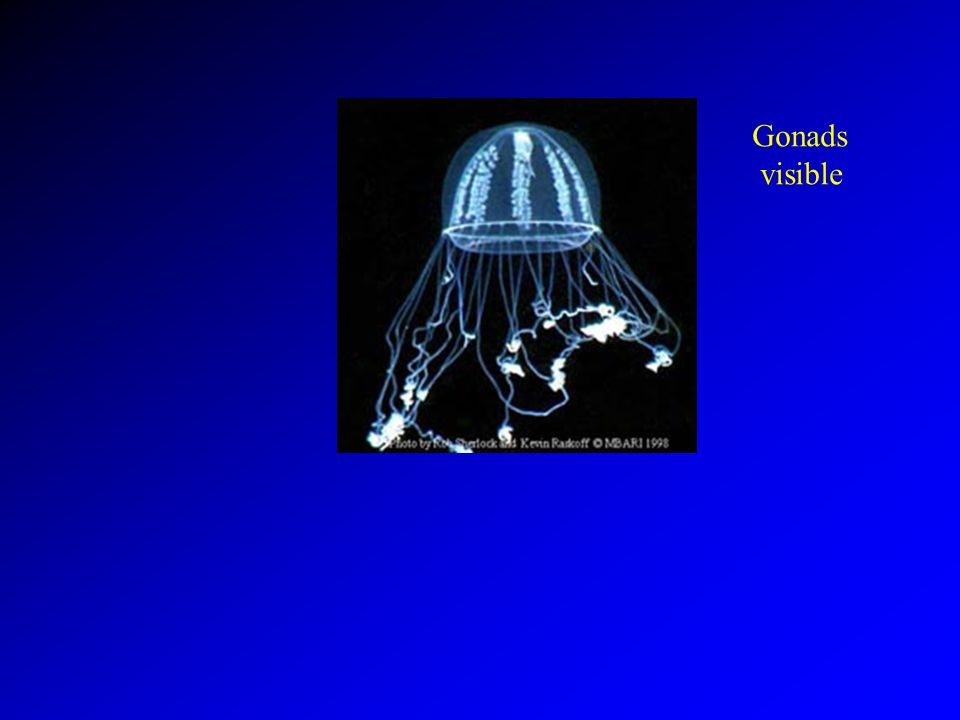 Gonads visible