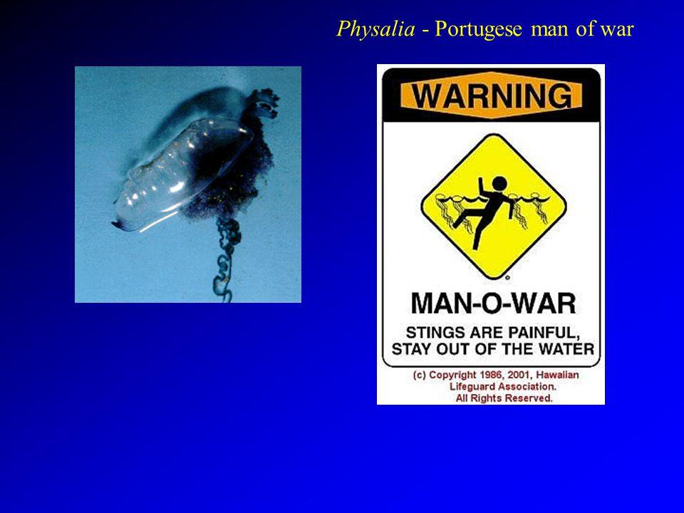Physalia - Portugese man of war