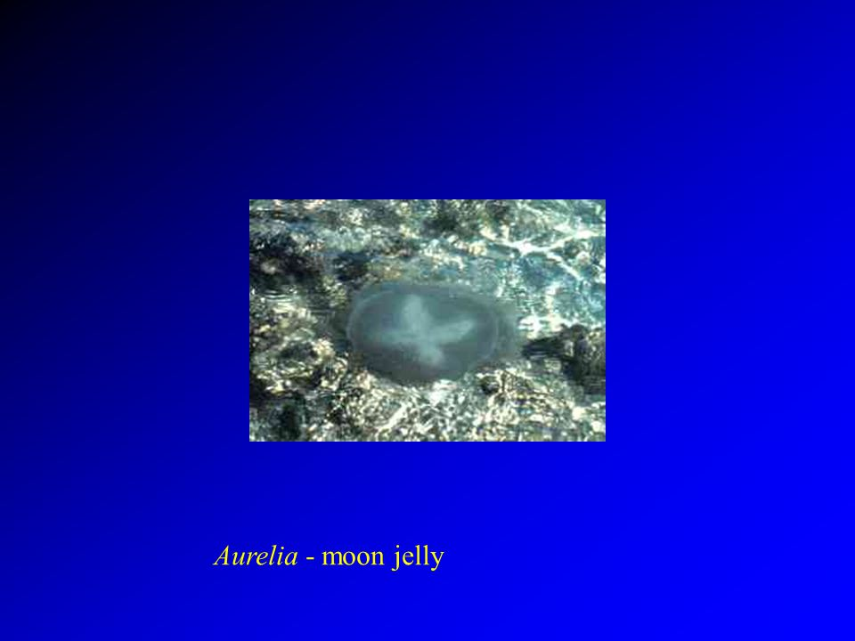Aurelia - moon jelly