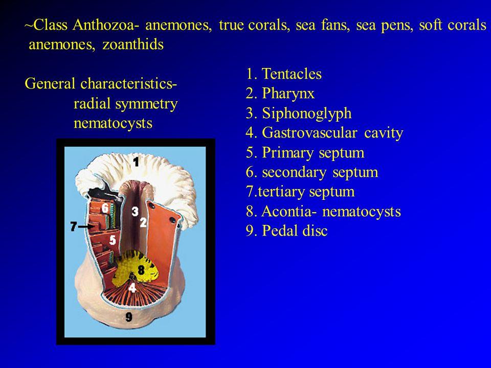 ~Class Anthozoa- anemones, true corals, sea fans, sea pens, soft corals anemones, zoanthids General characteristics- radial symmetry nematocysts 1.