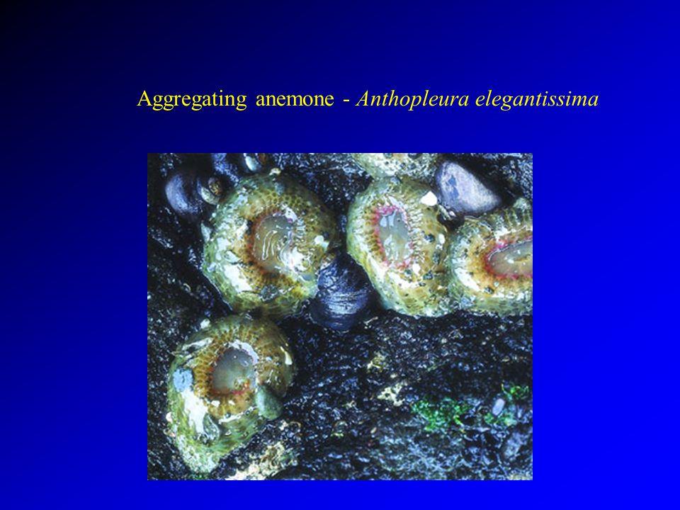 Aggregating anemone - Anthopleura elegantissima