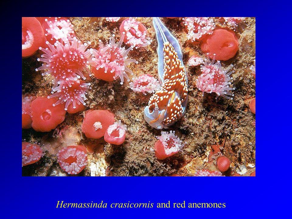 Hermassinda crasicornis and red anemones