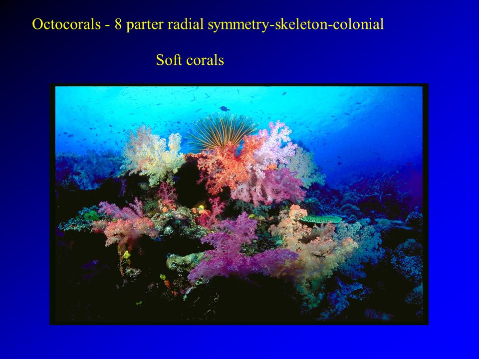 Octocorals - 8 parter radial symmetry-skeleton-colonial Soft corals