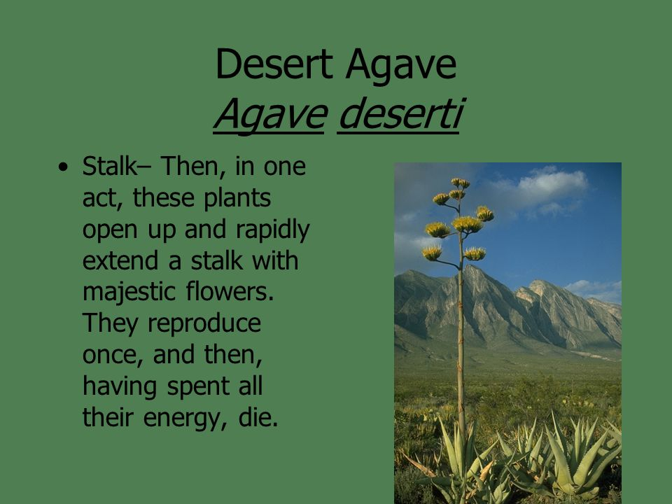Desert Agave Agave deserti Stalk– Then, in one act, these plants open up and rapidly extend a stalk with majestic flowers. They reproduce once, and th