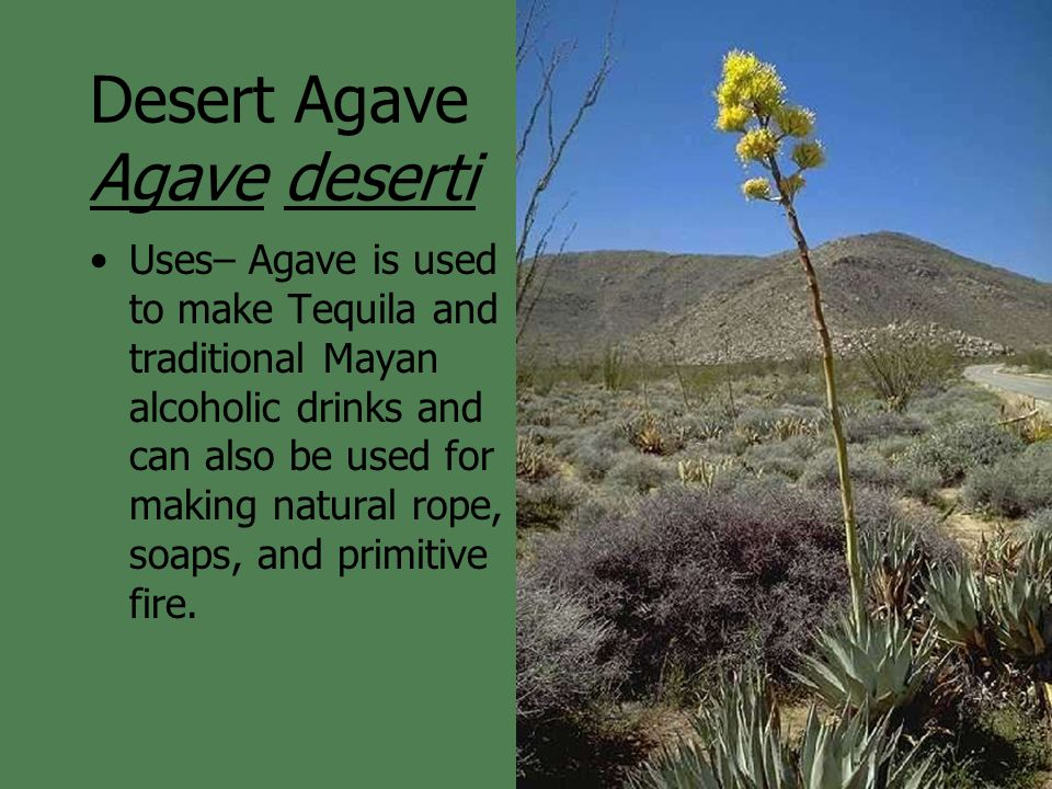 Desert Agave Agave deserti Uses– Agave is used to make Tequila and traditional Mayan alcoholic drinks and can also be used for making natural rope, so