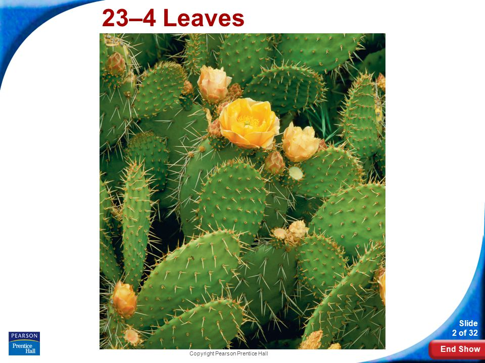 End Show 23-4 Leaves Slide 3 of 32 Copyright Pearson Prentice Hall Leaf Structure How does the structure of a leaf enable it to carry out photosynthesis?