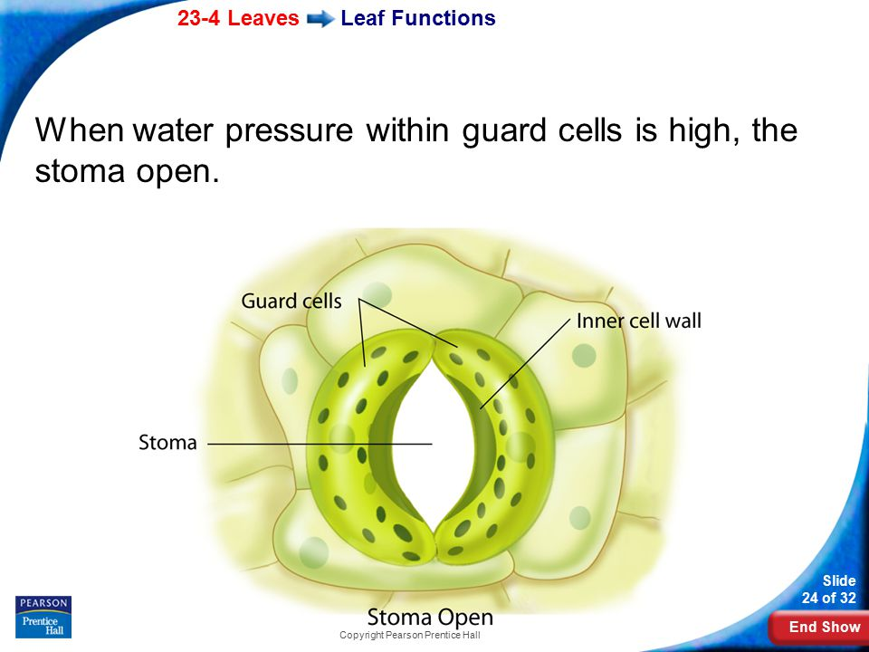 End Show 23-4 Leaves Slide 24 of 32 Copyright Pearson Prentice Hall Leaf Functions When water pressure within guard cells is high, the stoma open.