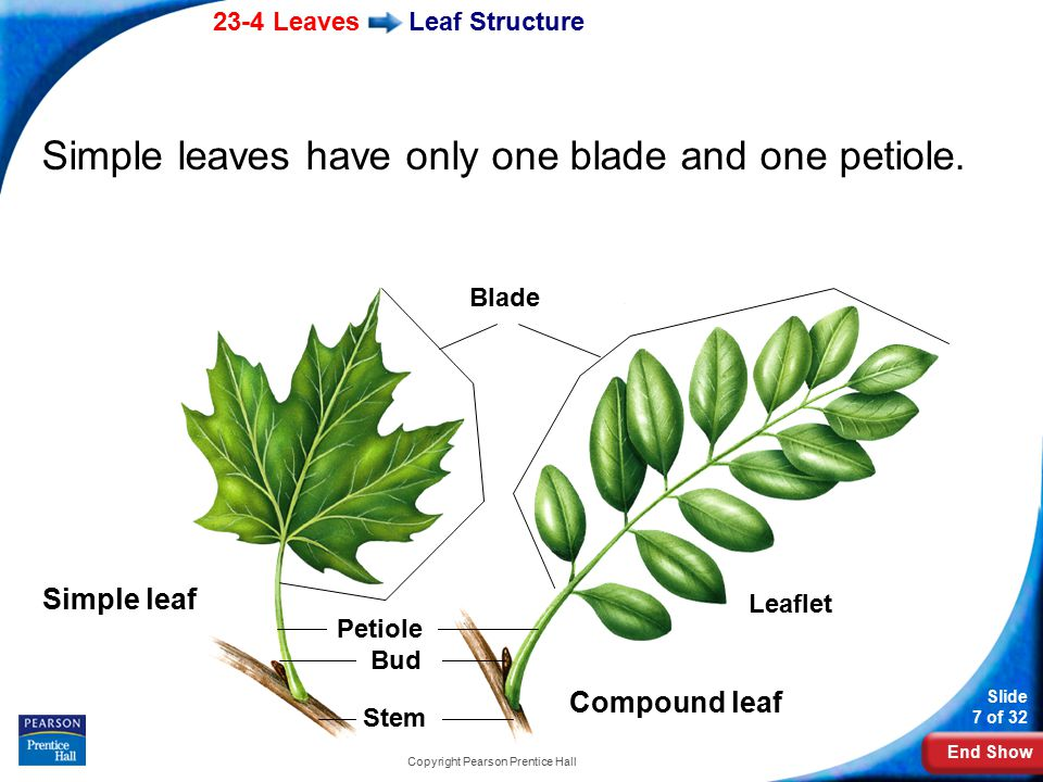 End Show Slide 28 of 32 Copyright Pearson Prentice Hall 23–4 A compound leaf is one that has a.a blade attached by several petioles.
