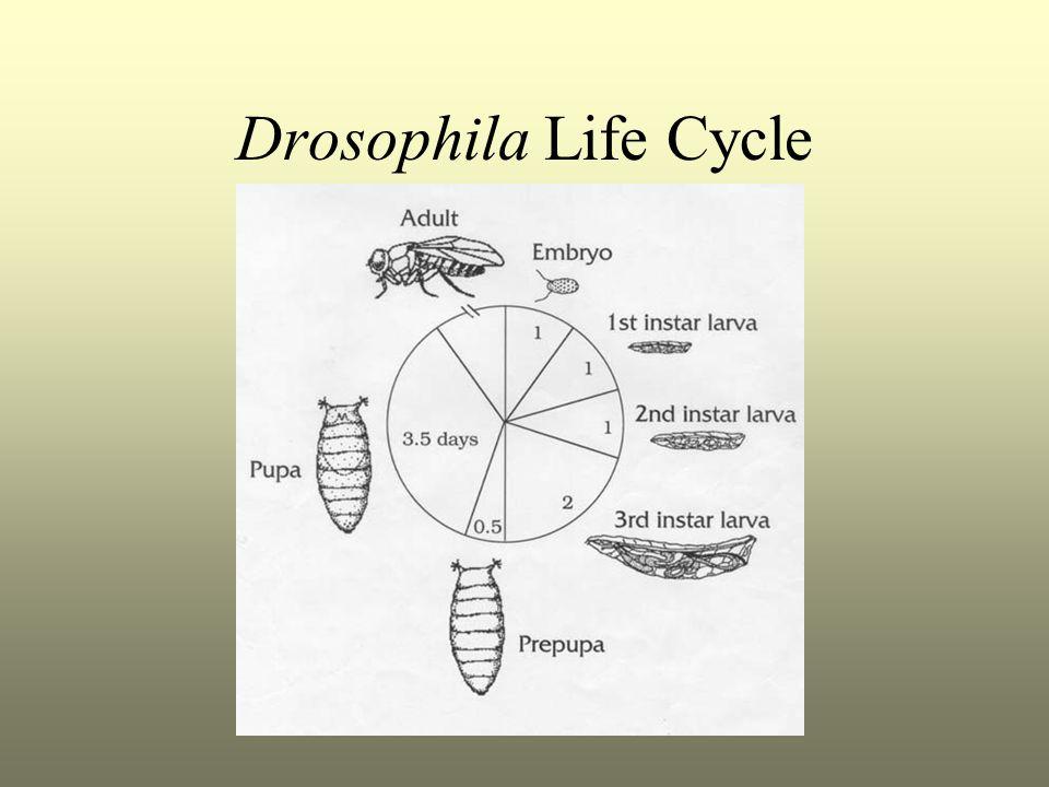 Drosophila Life Cycle