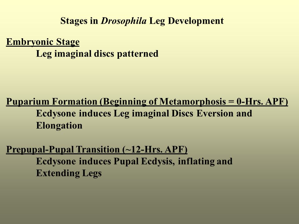 Stages in Drosophila Leg Development Embryonic Stage Leg imaginal discs patterned Puparium Formation (Beginning of Metamorphosis = 0-Hrs. APF) Ecdyson