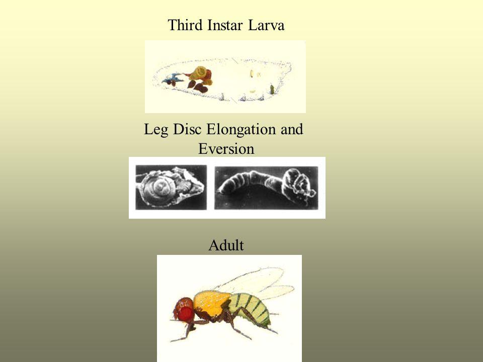 Third Instar Larva Leg Disc Elongation and Eversion Adult