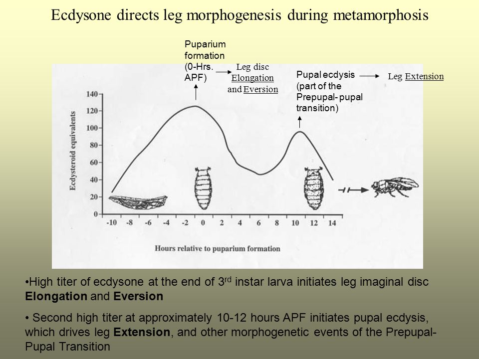 Ecdysone directs leg morphogenesis during metamorphosis Puparium formation (0-Hrs. APF) Pupal ecdysis (part of the Prepupal- pupal transition) High ti