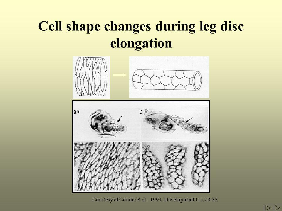 Cell shape changes during leg disc elongation Courtesy of Condic et al.