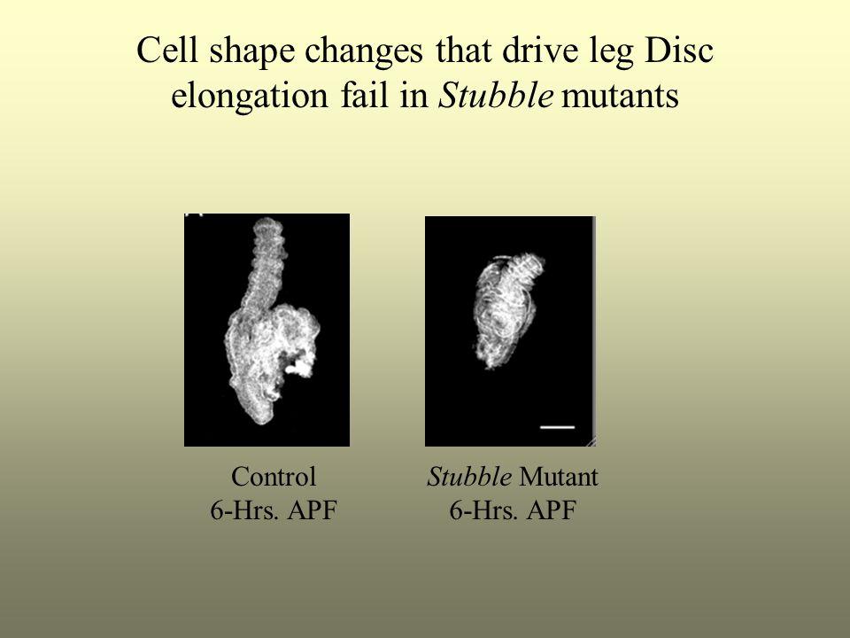 Cell shape changes that drive leg Disc elongation fail in Stubble mutants Control 6-Hrs.