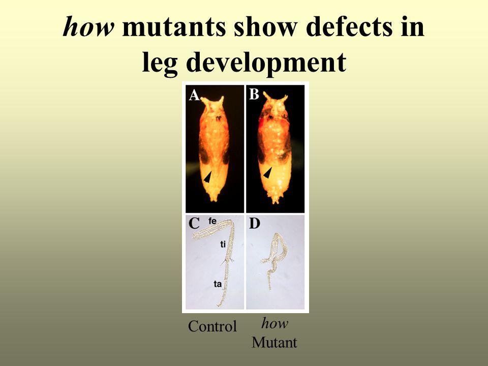 how mutants show defects in leg development Control how Mutant