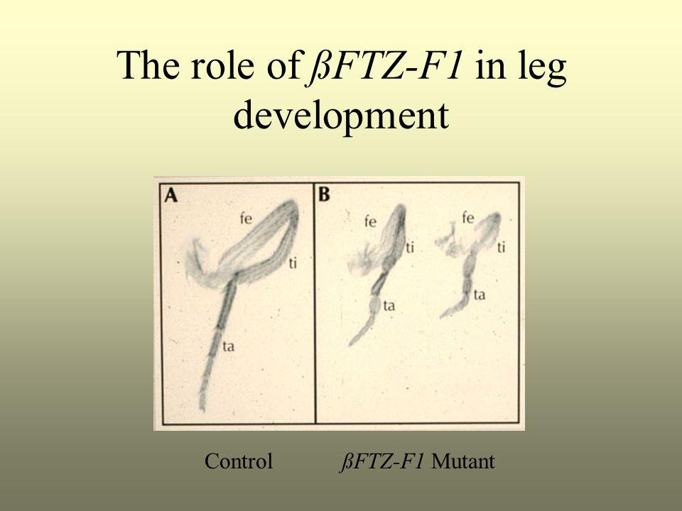 The role of ßFTZ-F1 in leg development Control ßFTZ-F1 Mutant