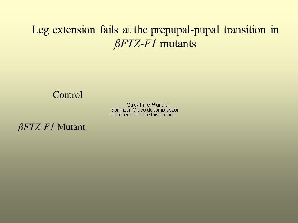 Leg extension fails at the prepupal-pupal transition in ßFTZ-F1 mutants Control ßFTZ-F1 Mutant
