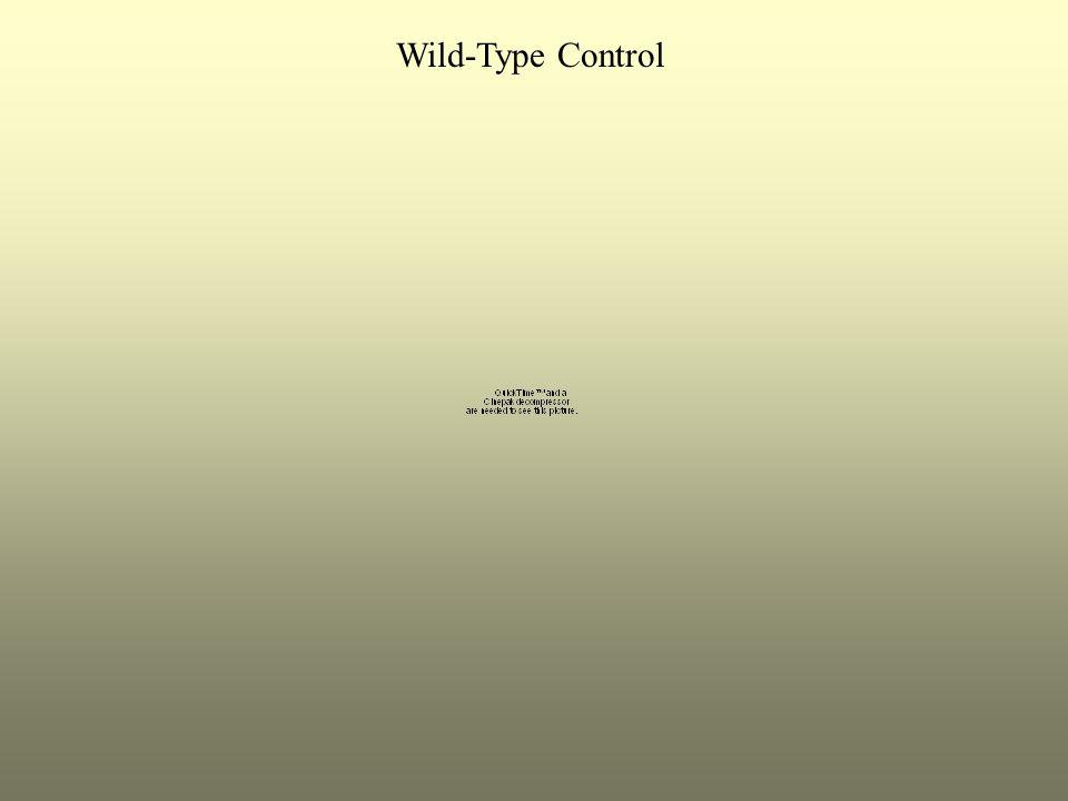 Wild-Type Control