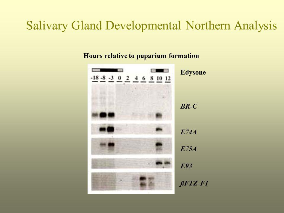 Edysone BR-C E74A E75A E93 ßFTZ-F1 Hours relative to puparium formation Salivary Gland Developmental Northern Analysis