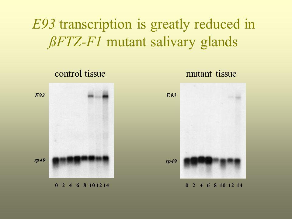 E93 transcription is greatly reduced in ßFTZ-F1 mutant salivary glands control tissuemutant tissue E93 rp49 E93 rp49 0 2 4 6 8 10 12 14