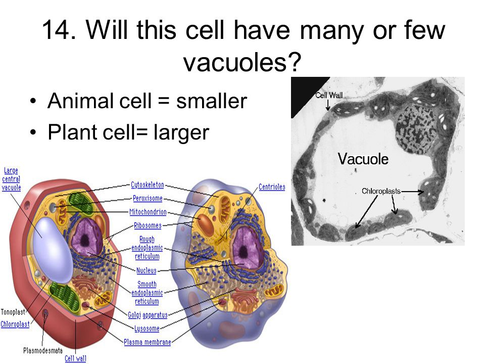 14. Will this cell have many or few vacuoles Animal cell = smaller Plant cell= larger