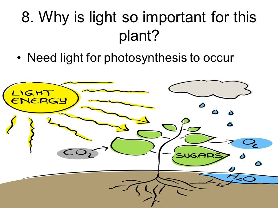 8. Why is light so important for this plant Need light for photosynthesis to occur