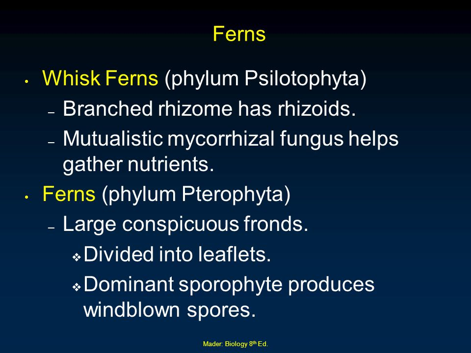 Mader: Biology 8 th Ed.Ferns Whisk Ferns (phylum Psilotophyta) – Branched rhizome has rhizoids.