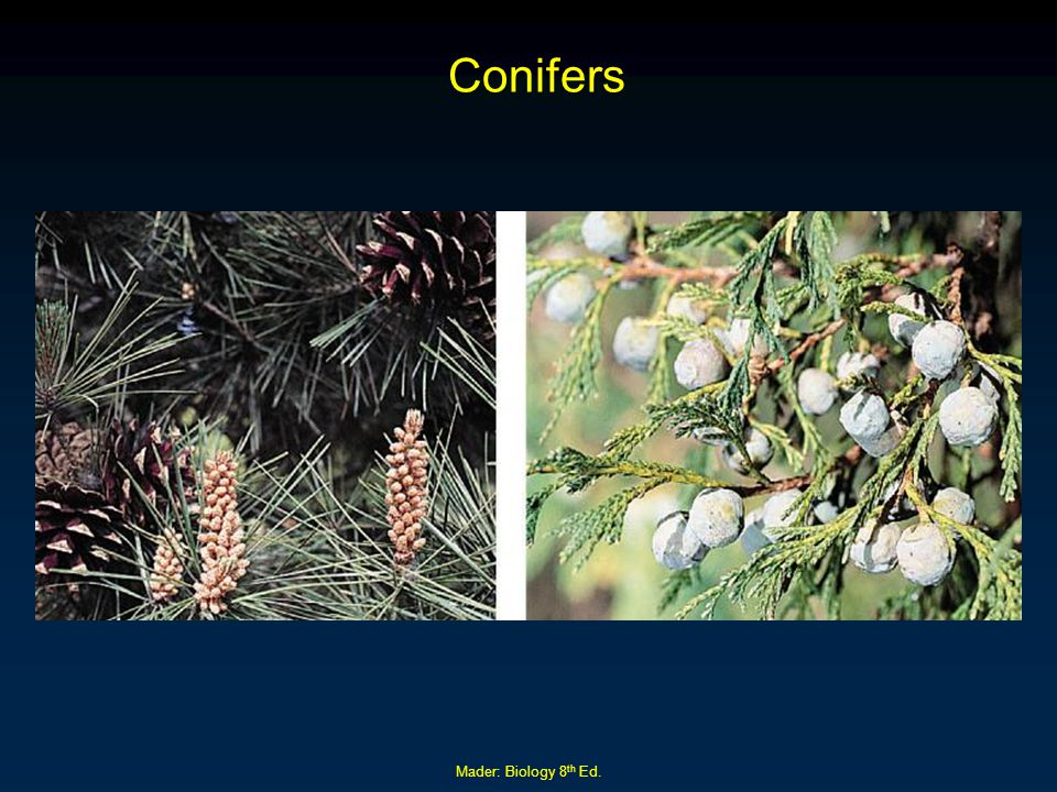 Mader: Biology 8 th Ed. Conifers