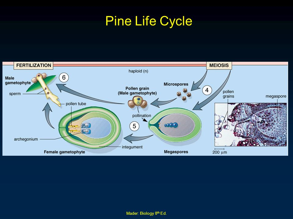 Mader: Biology 8 th Ed. Pine Life Cycle