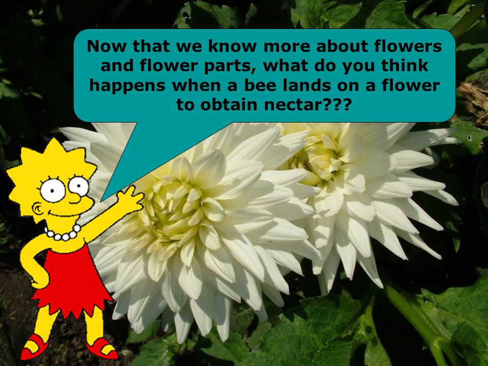 Now that we know more about flowers and flower parts, what do you think happens when a bee lands on a flower to obtain nectar???