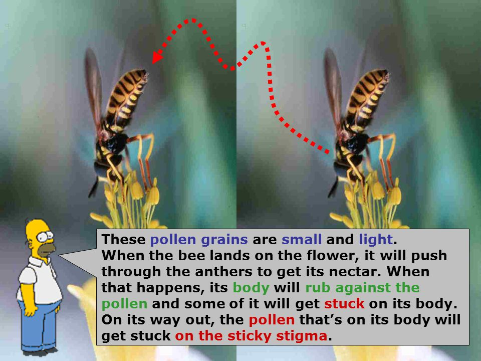 These pollen grains are small and light. When the bee lands on the flower, it will push through the anthers to get its nectar. When that happens, its