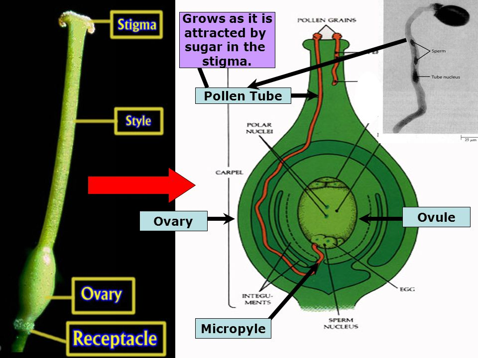 Micropyle Pollen Tube Ovary Grows as it is attracted by sugar in the stigma. Ovule