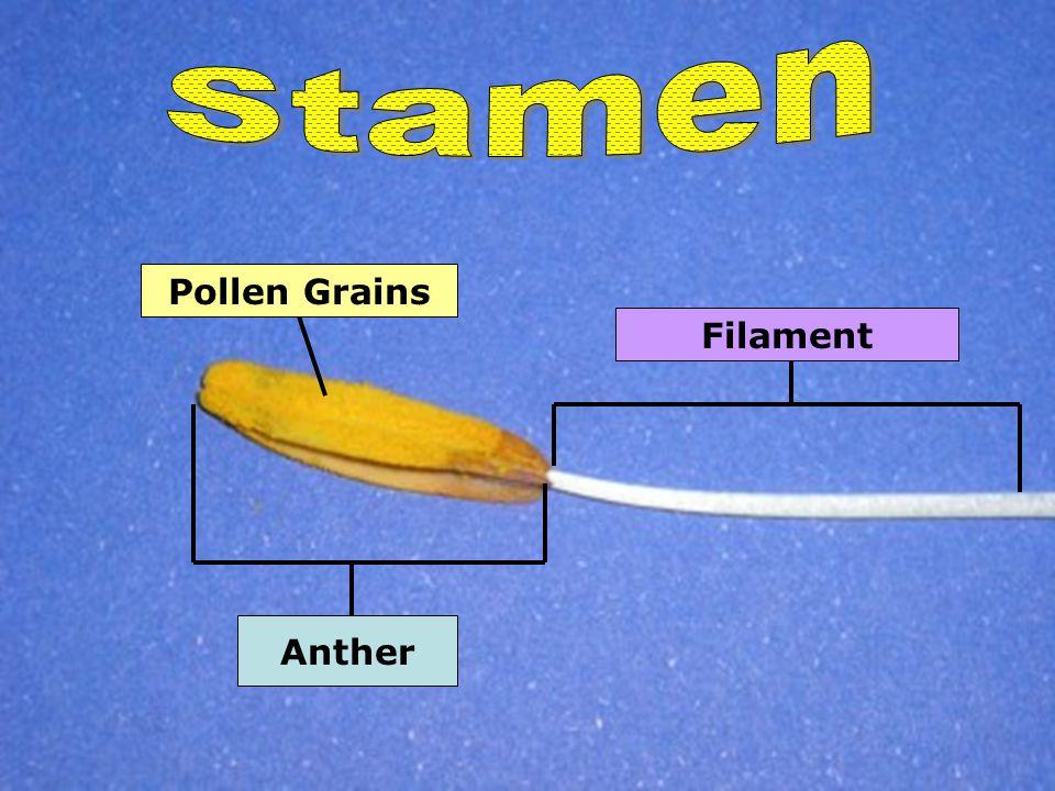 Anther Filament Pollen Grains