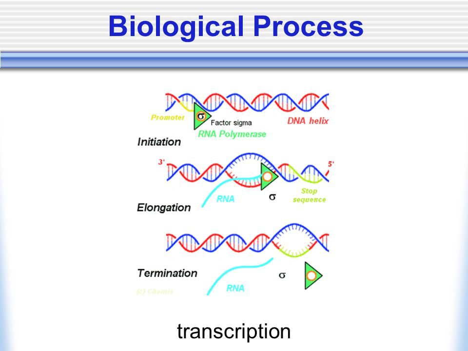 Biological Process transcription